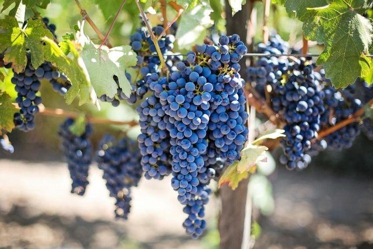 fertilizing grapevine